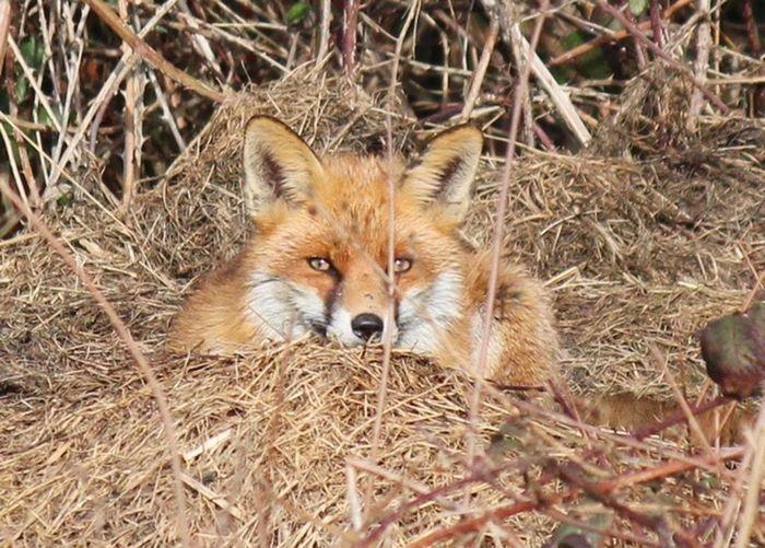 Fox One Animal Animal Themes Fox Animal Mammal Animals In The Wild Vertebrate