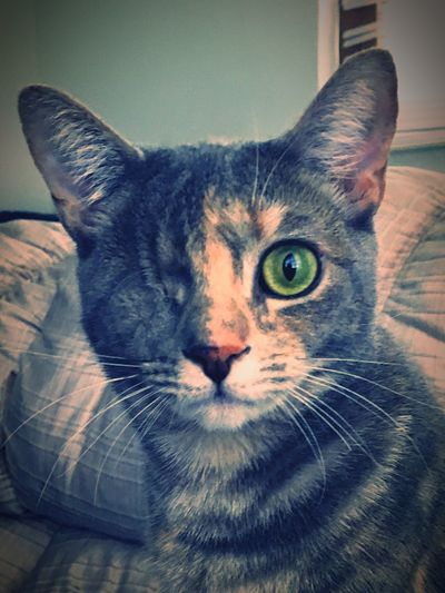 Pumpernickel Visual Creativity Domestic Cat Animal Themes Feline Indoors  Pets Close-up No Eye Eye Looking At Camera One Animal Whisker Cat The Week On EyeEm