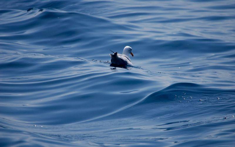 Seagull swimming in sea