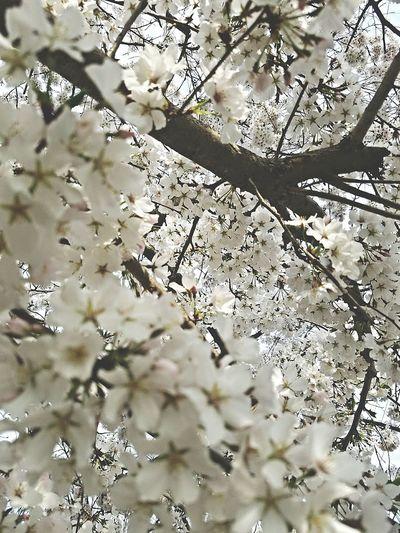 Tree White Flower Cherry Blossoms Cherry Blossom EyeEm Best Shots EyeEm Nature Lover Nick Nature