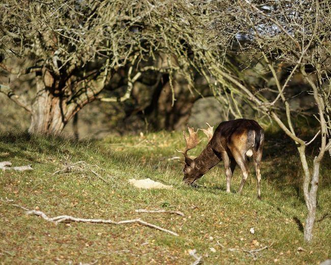 Buck Fallow Deer Animal Themes Animal Animal Wildlife One Animal Animals In The Wild Nature Mammal Outdoors