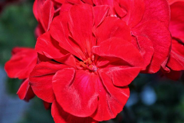 Ruby Flower