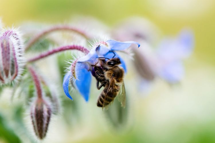 Close-up of bee pollinating on blue flower