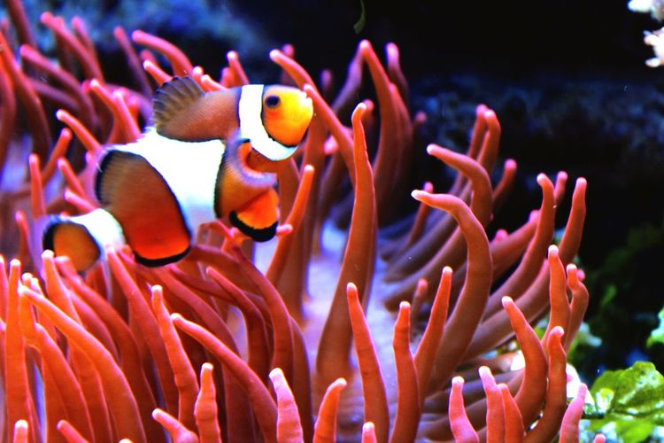 Clownfish Water Aquarium Anenome