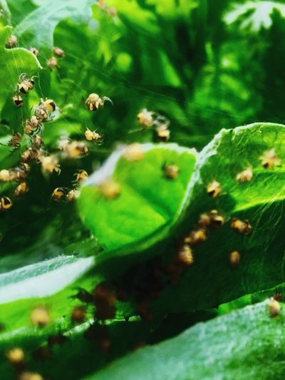 Nature Growth Plant Green Color Insect Animals In The Wild Spider Baby Spiders Green Outdoors No People One Animal Selective Focus Day Leaf Beauty In Nature Close-up Flower In The Garden Spring Cute Freshness