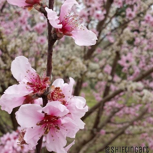 Took this with me phone and didn't edit it at all except to add my watermark :O go galaxy camera! Galexys4 Photo Blosome Plumbtree spring flower trees pinkflowers photography teenphotographer art shiftingart