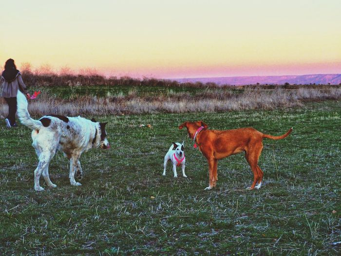 View of dogs on field during sunset