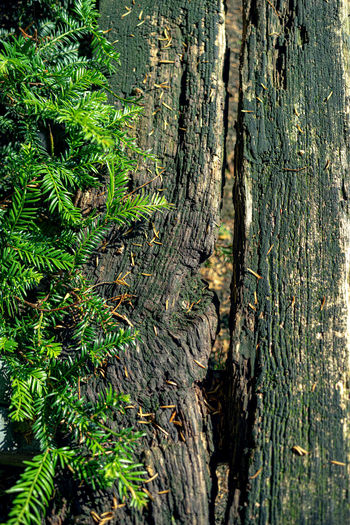 Tree Trunk Tree Trunk Plant Forest Growth Land Nature Wood - Material No People Day Beauty In Nature WoodLand Green Color Tranquility Outdoors Close-up Full Frame Plant Part Leaf Bark Holz Mit Efeu Morbide Details