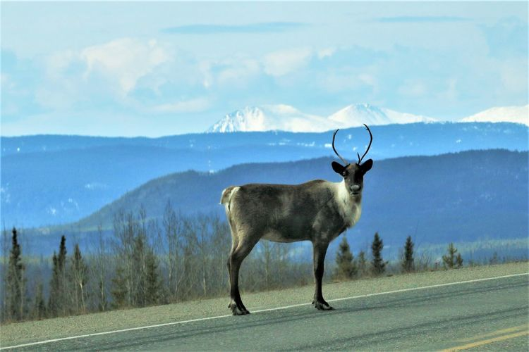 Animal Themes Animal Road One Animal Mammal Animal Wildlife Nature Deer Transportation No People Day Animals In The Wild Sky Landscape Vertebrate Environment Standing Beauty In Nature Scenics - Nature Outdoors Herbivorous Caribou
