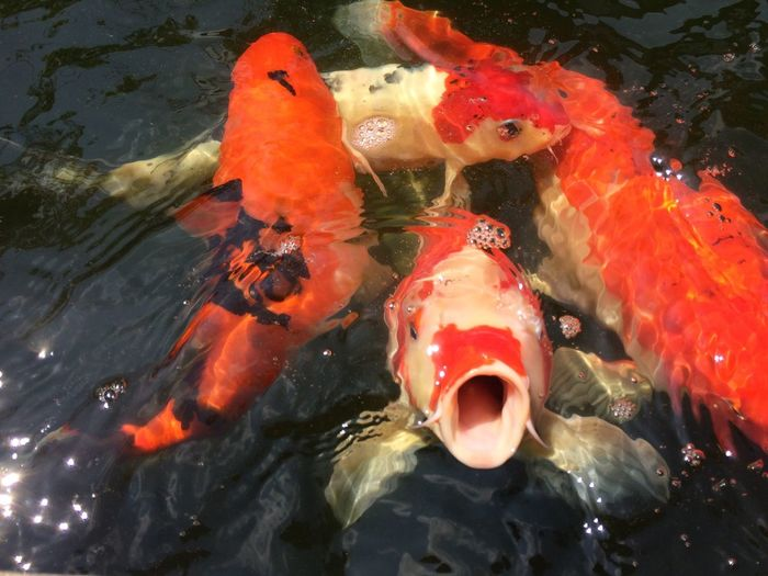fancy carp fish waiting for food Multi Colored Multicolor Colorful Color Group Food Waiting Wait Animal Pool Carp Fish Fancy Carp Fancy Carp Fish Fish Outdoors Water Nature Close-up