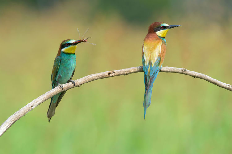 Animal Animal Themes Avian Beauty In Nature Bee-eater Bird Blue Close-up Day Focus On Foreground Green Color Nature No People Outdoors Perched Perching Selective Focus Wildlife