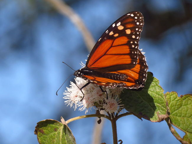 Migración Mariposa Monarca EyeEmNewHere Beauty In Nature Butterfly Close-up Day Fragility Freshness Insect Migrating Monarch Butterfly Nature No People One Animal Outdoors White Flower