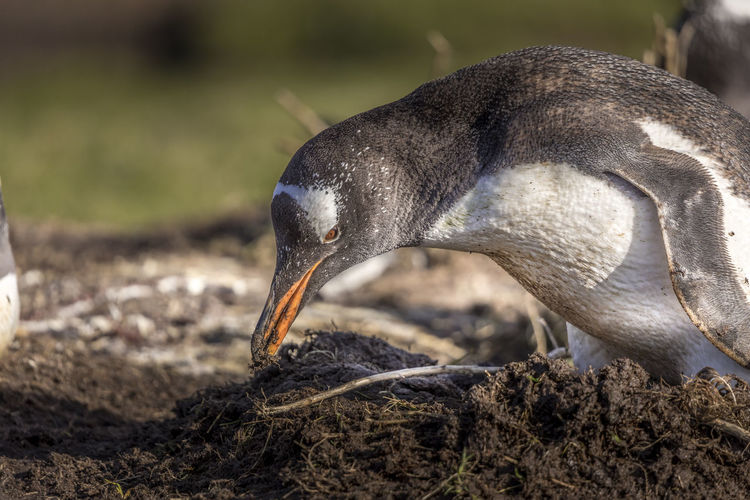 Close-up of penguin on soil
