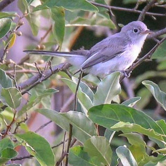 Blue-gray Gnatcatcher Birdsofohio Ohiobirding Allmightybirds Bluegraygnatcatcher Feathers Naturephotography Wildlife Bd_birds Planetbirds Igbirds