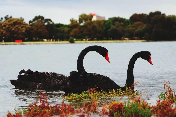 Nature On Your Doorstep Black Swan Swan 天鹅
