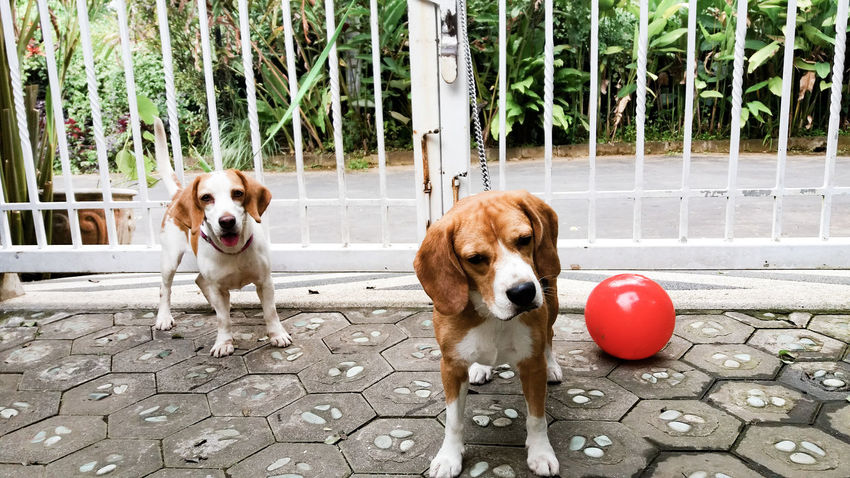 Two Is Better Than One play date Dog Dog Love Dogs Of EyeEm Dog❤ Doglover Dogstagram Dogslife Friendship Friends Lover Eyeem Market Eye4photography  EyeEm Eyeemmarket Eyeemphoto EyeEm Gallery Beagle Beagles  Phograph Photography Photo Pet Portraits Visual Creativity