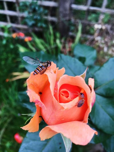 Peach Rose Hoverfly Spider Outdoor Photography Nature Photography My Garden The Spider And The Fly