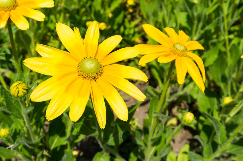 Close-up of a beautiful yellow Flower in Summer. Golden Daisy Bush Asteraceae Beauty Blooming Close-up Closeup Easy To Grow Euryops Chrysanthemoides Flower Head Flowering Flowers Freshness Garden Golden Daisy Bush Green Growing Growth Meadow Nature Plants Season  Summer Yellow