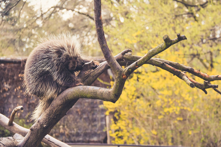 porcupine Animal On Tree Animal Themes Beauty In Nature Branch Day Nature No People Outdoors Porcupine Relax Relaxing Relaxing Moments Relaxing Time Sleep Sleeping Sleeping Porcupine Spring Tranquility Tree Tree Trunk Twig Zoo Zoo Animals  Zoology