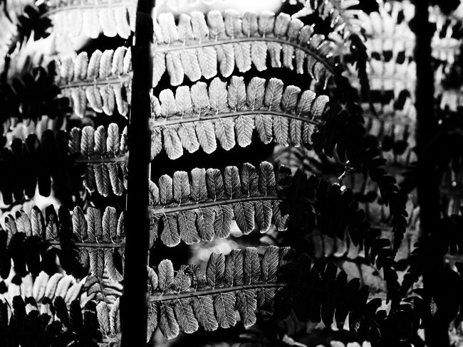 Black & White Black And White Claudetheen Close-up Fern In A Row Large Group Of Objects Light And Shadow Spring Sun Sunlight And Shadow