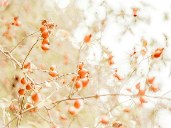 wild Dog Rose Rose Hips Highkey Beautiful Nature Autumn Wildflowers