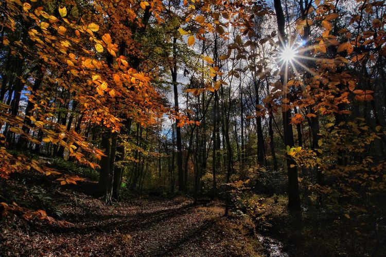 Sun Beaming Through Trees In Forest During Autumn