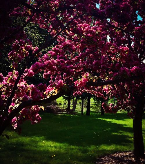 Spring Flowers Flowering Tree Crab Apple Blossom Crab Apple Tree Crab Apple Flower Springtime Spring Has Arrived Pink Flower Pink Color Nature Photography Nature_collection Nature The Great Outdoors - 2016 EyeEm Awards The City Light Oswego, IL The Secret Spaces