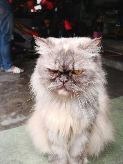 I'm in good mood... Really... Good... Selfie Cat Boring Cat Funny Face Cat Portrait Of Cat Cat Face Persian Cat  Pets Portrait Kitten Feline Domestic Cat Looking At Camera Animal Hair Happiness Close-up Fluffy Cat