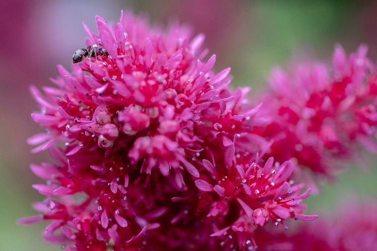 Ant Close-up Flowering Plant Growth Insect Macro No People Pink Color Plant Pollen Purple Vulnerability