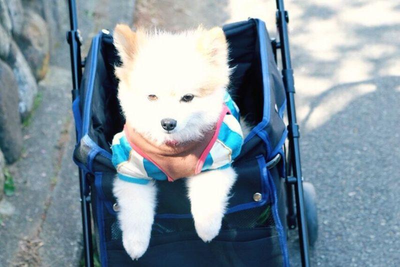 Walking Pet Dog Little Dog Lovely Dog Cute Dog Traveller Traveling Outdoors Dog Treats Happy Pomeranian Interesting Dog Lover