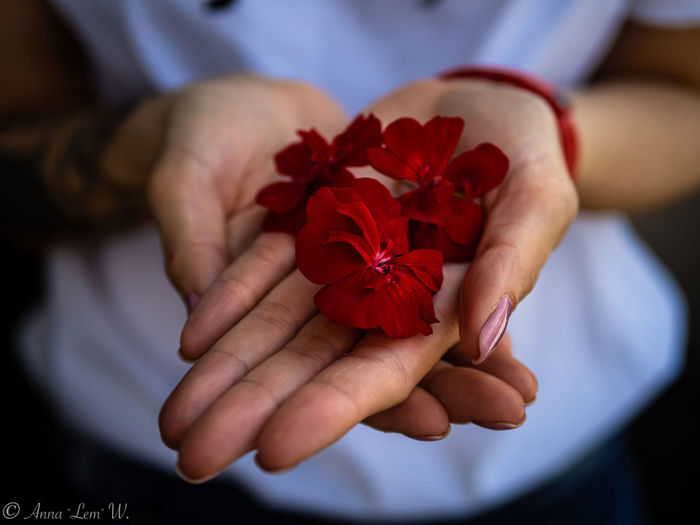 Red flower petals on hands. Hand Human Hand Red Real People Holding Flowering Plant Midsection Close-up Focus On Foreground One Person Flower Human Body Part Freshness Hands Cupped Plant Fragility Flower Head Human Limb Vulnerability  Lifestyles Nature EyeEm Best Shots EyeEmNewHere EyeEm Nature Lover EyeEm Masterclass The Week on EyeEm