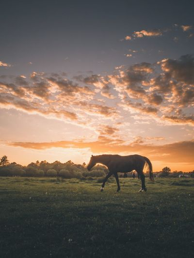 Sunset Animal Themes Nature Domestic Animals Sky Field Horse Tranquil Scene One Animal Mammal Beauty In Nature Silhouette Cloud - Sky Landscape No People Tranquility Grass Scenics Livestock Sunlight