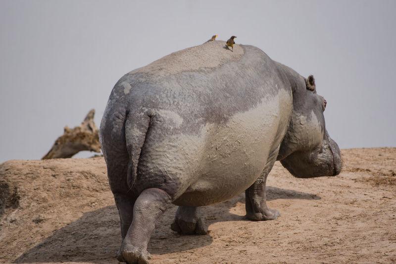 Close-Up Of Muddy Hippopotamus At Lake