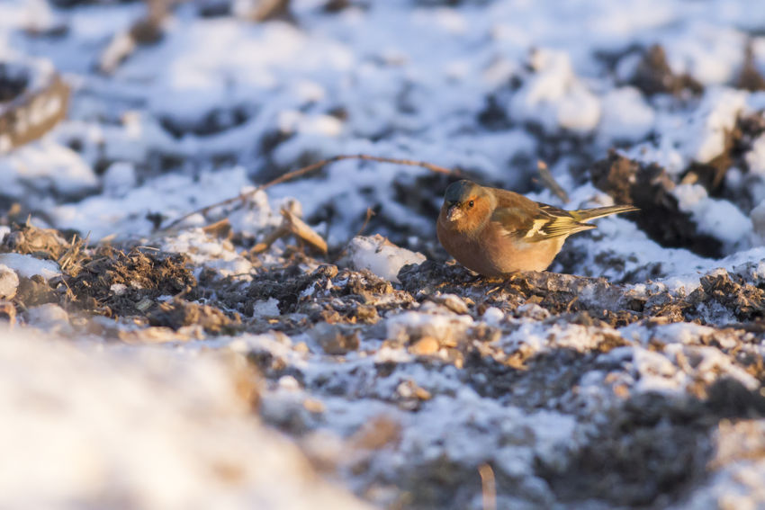 A common chaffinch is searching for fodder Birds Of EyeEm  Field Finch Fringilla Coelebs Maderensis Sitting Tree Animal Animals World Wildlife Animlas Bird Birds Birds Life Birds World Birds On Branch Branchlet Common Chaffinch Feather  Feathering Finchs Landscape Meadow Plumage