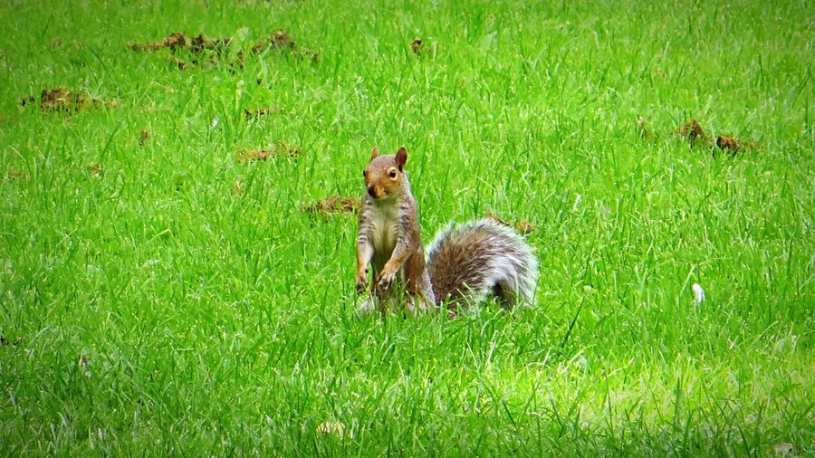 Squirrel in the Grass Wildlife & Nature Squirrels Red Grey Nature Animals Wildlife Capture The Moment Startled Alertness Alert Skittish Wildlife Photography Standing Standing Up! Looking Around Surroundings