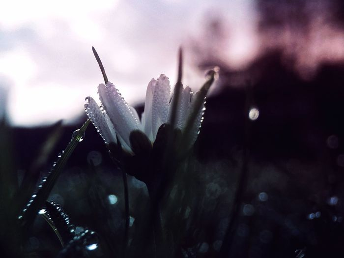 Return • Zechariah 1:3 Drop Water Wet Nature Close-up Focus On Foreground Growth No People Plant Outdoors RainDrop Beauty In Nature Fragility Day Freshness Cold Temperature Flower Head Sky Daisy Flower Dark Moody Light Lookingup Black