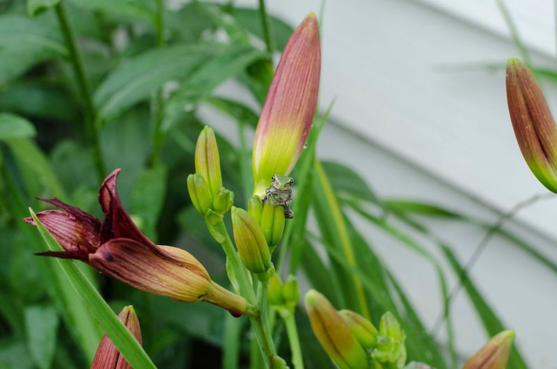 Well hello there, baby tree frog, day lily, burgundy, sitting proud, frog, flower, nature