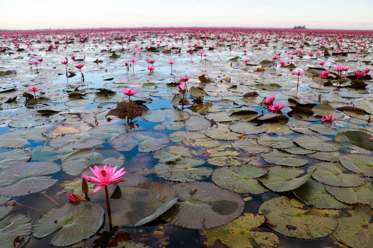 Red Lotus Lake, Udon Thani EyeEm Best Shots EyeEm Nature Lover EyeEm Selects EyeEm Gallery Eye4photography  EyeEm Eyeem Market Thailand Thai Thailand_allshots Water Lotus Water Lily Pink Color Lotus In Bloom Plant Life