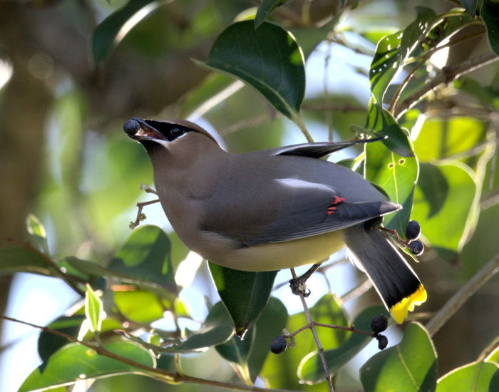 Cedar Waxwing having lunch. Bird Photography Birds Of EyeEm  Birds🐦⛅ Birdwatching Animal Themes Animal Wildlife Animals In The Wild Bird Birds_collection Branch Close-up Day Full Length Growth Leaf Low Angle View Nature No People One Animal Outdoors Perching Plant Tree Waxwing Waxwings