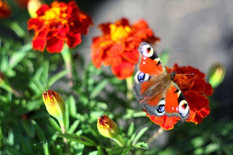 Butterfly Flower Collection Flowers Flower Flowerporn Nature EyeEm Nature Lover Helios 44-2 58mm F2