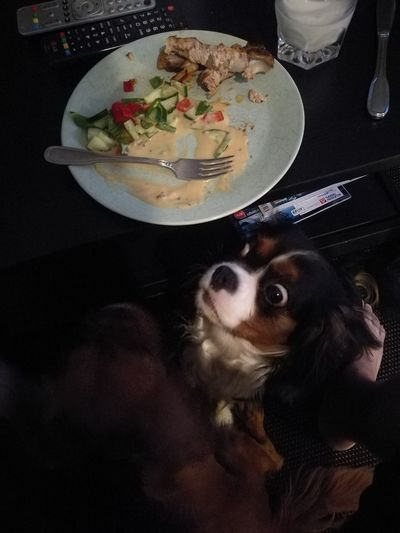 Maniac Food Pets Dog Representing Close-up Cavalier King Charles Spaniel