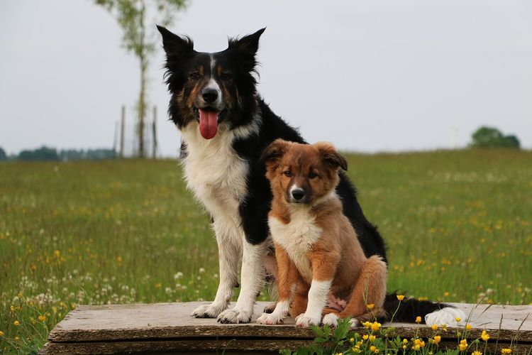 border collie mum with the child in the garden Beautiful Border Collie Mother Sitting Tricolor Animal Themes Brown Child Day Dog Domestic Animals Garden, Grass Mammal Nature No People Outdoor Park Pets Portrait Puppy Sky Two Animals