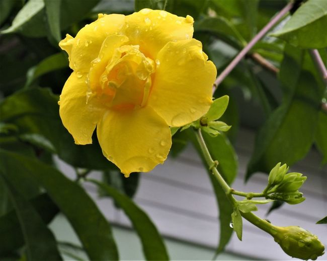 Bush Allamanda Oleander Allamanda Beauty In Nature Close-up Day Flower Flower Head Flowering Plant Focus On Foreground Fragility Freshness Growth Inflorescence Nature No People Outdoors Petal Plant Vulnerability  Yellow Yellow Allamanda