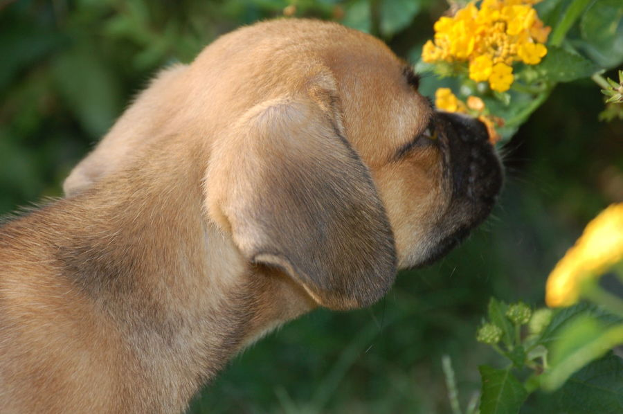 Stop & Smell the flowers Animal Head  Animal Themes Beauty In Nature Brown Close-up Day Designer Dog Focus On Foreground Growth Mammal Nature No People Outdoors Plant Puggle Pugglelife Selective Focus Smelling The Flowers Sniffing Around