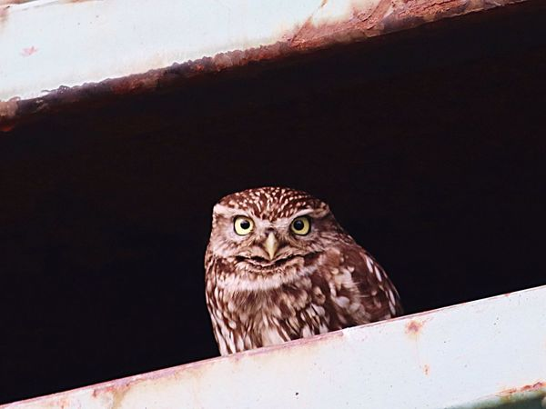 Animal Themes Bird One Animal Animals In The Wild Animal Wildlife No People Bird Of Prey Close-up Day Outdoors Nature Perching Littleowl Owl Eyes