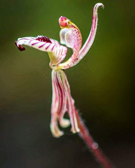 Flower Orchid Australia Nature