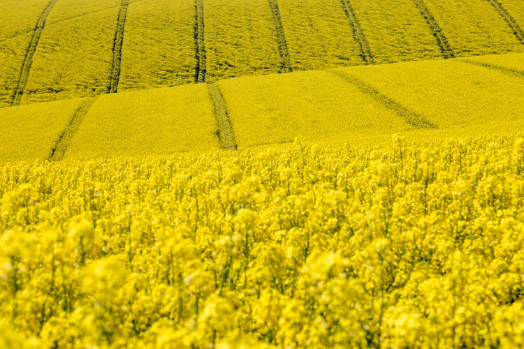 A Field of Vivid Yellow Canola/Rapeseed Crops Abundance Agriculture Beauty In Nature Crop  Environment Farm Field Flower Flowerbed Flowering Plant Growth Land Landscape No People Oilseed Rape Outdoors Plant Rural Scene Scenics - Nature Springtime Sussex Tranquil Scene Tranquility Vibrant Color Yellow