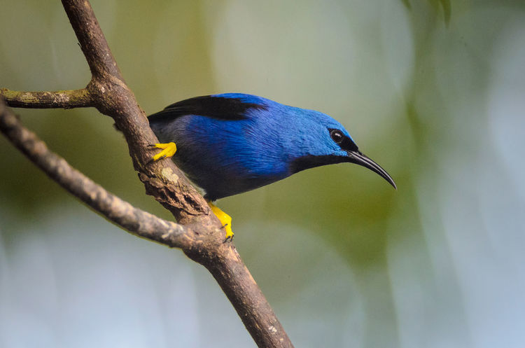 Shining Honeycreeper (Cyanerpes lucidus) Costa Rica Cyanerpes Lucidus Heredia, Costa Rica Sarapiqui Shining Honeycreeper Animal Themes Animal Wildlife Animals In The Wild Bird Branch Nature No People Outdoors Perching Rainforest Tree Tropical Wildlife