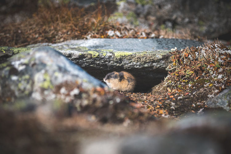We went for a autumn trekking trip to Norway. Met this little guy and many of his friends there :) Friends Jotunheimen Lemming Norway Travel Animal Themes Animal Wildlife Animals In The Wild Close-up Hiding Mammal Nature No People One Animal Outdoors Selective Focus