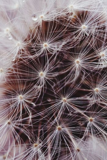 Maximum Closeness Flower Head Dandelion Seed Beauty In Nature Outdoors Close-up Day